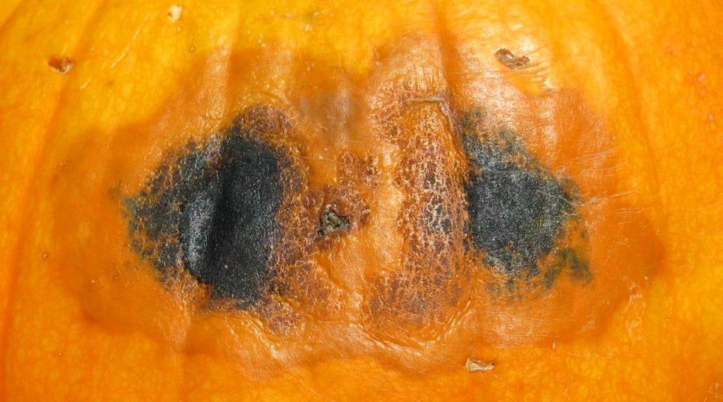 black rot on pumpkin