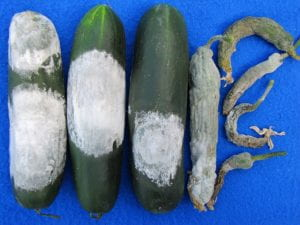 cucumbers infected with pythium fruit rot