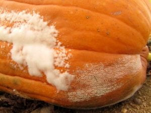 Pumpkin fruit infected by both Pythium fruit rot and Phytophthora fruit rot
