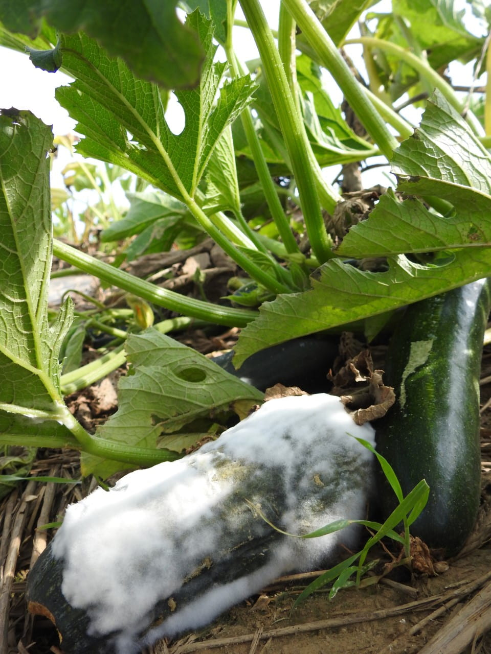 cucurbit pythium fuzzy white on zucchini on ground