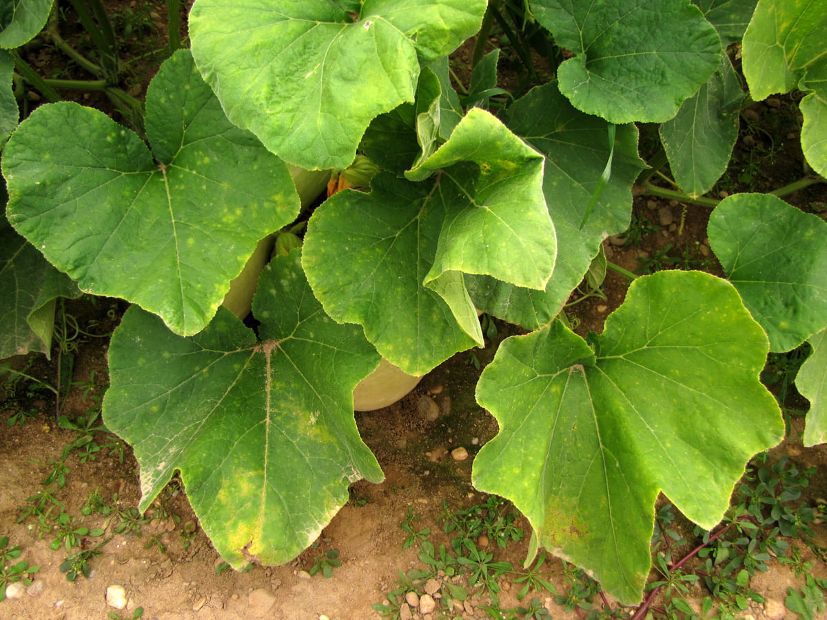 disease symptoms on leaves