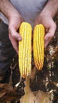adapt-n_10-2013_corn