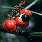 bizarre red tropical fruit on tree