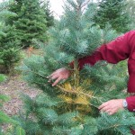 Concolor fir with noticeable yellowing
