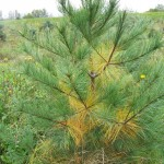 White pine with annual interior needle yellowing