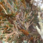 Orange rust gall lesions on affected juniper.