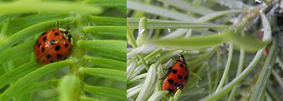 ladybug adults