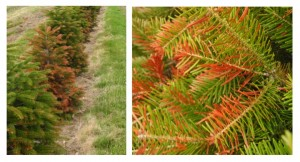 Winter Injury symptoms is common Nordmann firs.