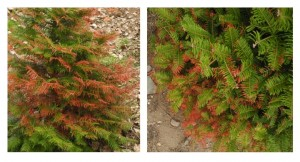 Grand fir trees are showing winter injury symptoms in many parts of NY.