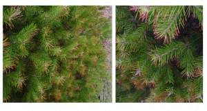 Douglas fir trees that have swiss needlecast infections were most prone to winter injury.  Some un-treated landscape trees are mostly brown.