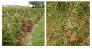 Concolor fir trees planted in sites with poor drainage were susceptible to winter injury.