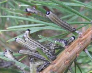 European pine sawfly group
