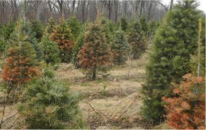 Varing degrees of Injury on concolor fir