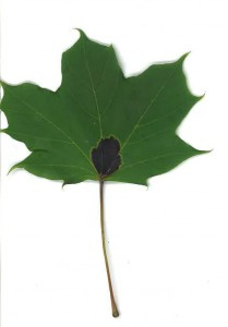 Leaf drop occurs when the Tar Spot lesion develops on the leaf stem or petiole and cuts off the pipework to the rest of the leaf.