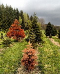 Conolor fir (foreground) and Grand fir (back left) displaying winter injury.