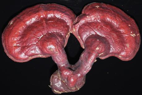 Ganoderma tsugae, topside