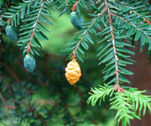 Hemlock cone rust