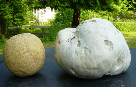 Calvatia gigantea and its cantaloupe pal