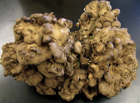 Grifola frondosa, the Hen of the Woods