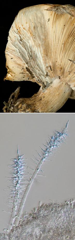 Harziella capitata eats blewits