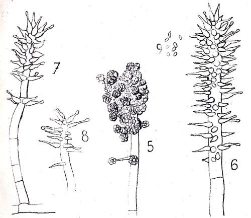 Original 1899 illustration of Harziella capitata
