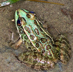 A healthy lowland leopard frog