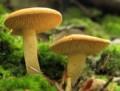 Hydnum umbilicatum