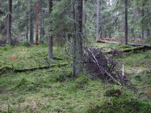 the Finnish forest home of our liverwort