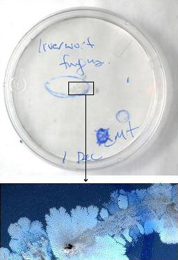 Unsuccessful isolation plate (top) and blobby bacterial colonies (bottom)