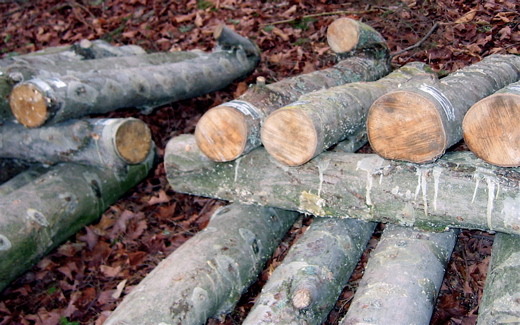 Inoculated logs piled in ricks in the woods