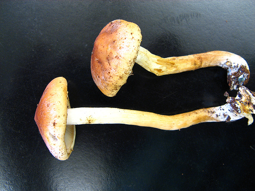 Hypholoma sublateritium