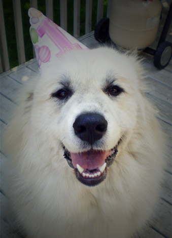 Shiloh, a Great Pyrenees
