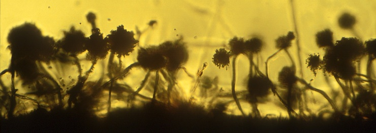Aspergillus collembolorum in Baltic amber, courtesy of Dr. A. Schmidt
