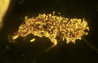 fossil Collembola with the fungus Aspergillus collembolorum