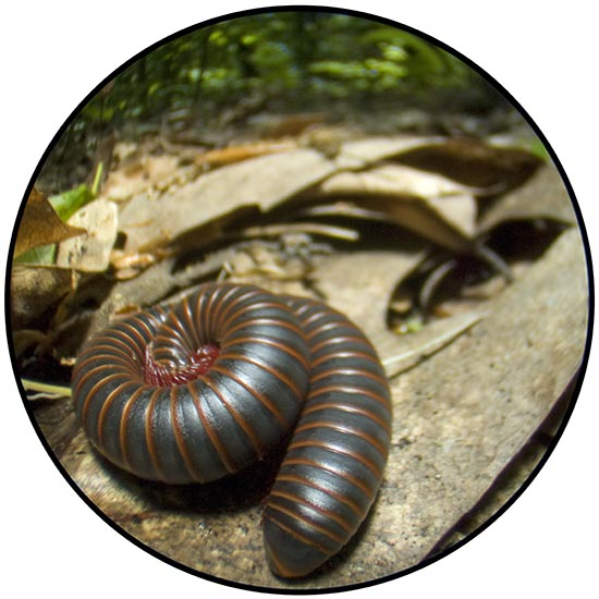 Narceus americanus, the giant American millipede
