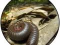 Narceus millipede