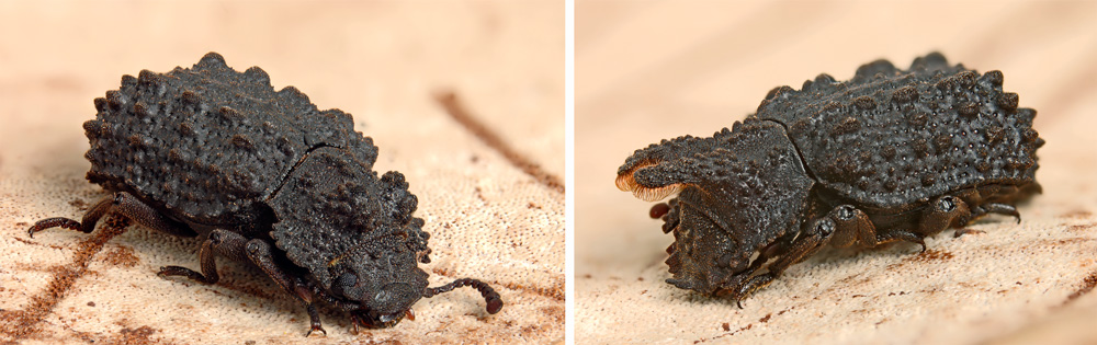 female and male forked fungus beetles