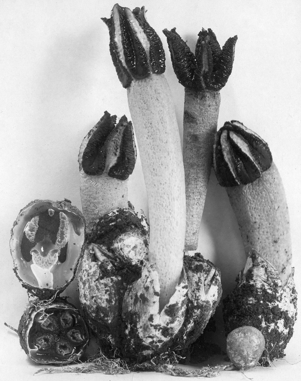Anthurus borealis, a stinkhorn, CUP-A-22704