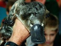 A platypus!