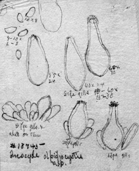Atkinson drawing of the cystidia of Inocybe olpidiocystis