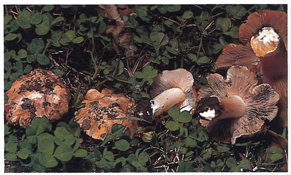 photo of Inocybe olpidiocystis by Weber and Smith