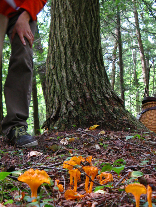 chanterelle thief approaching