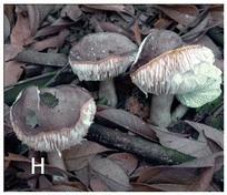 Russula subnigricans in Chen et al.