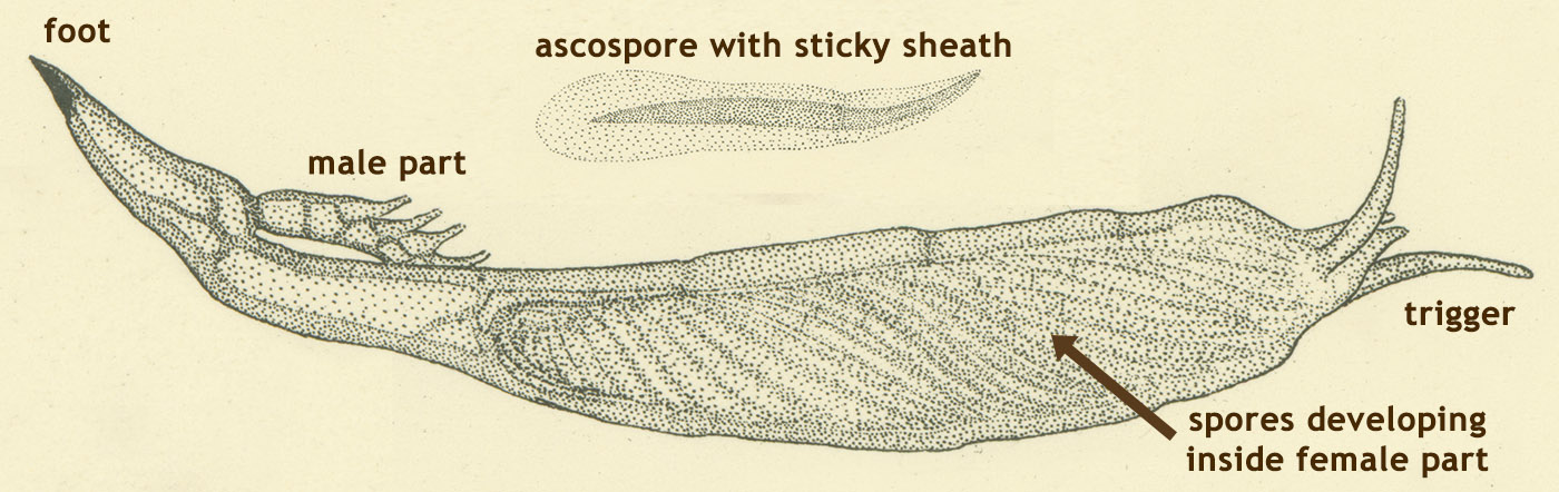Thaxter drawing of Hesperomyces virescens