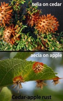 the two hosts of Cedar Apple rust