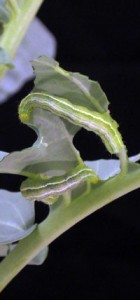 Cabbage looper larvae, Trichoplusia ni, feeding on transgenic broccoli plants expressing an insecticidal protein (Cry1Ac) from the biological pesticide Bacillus thuringiensis (Bt).  Photo by Ping Wang