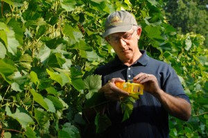 Cornell grape breeder Bruce Reisch pollinates grape flowers in the vineyard at New York State Agricultural Experiment Station in Geneva.