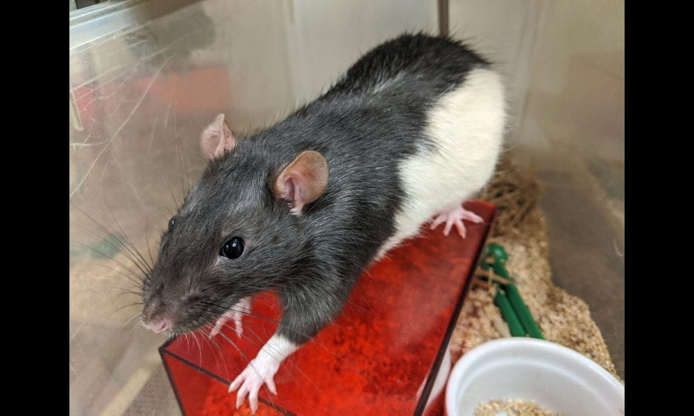 Long-Evans rat.