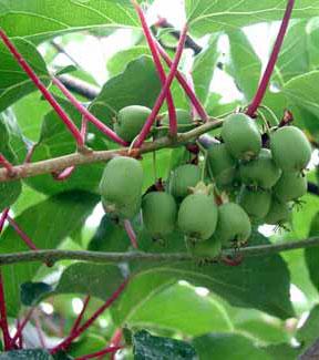 Hardy kiwifruit