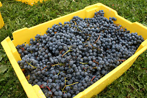 Buy wine grapes and juice at Cornell Orchards.